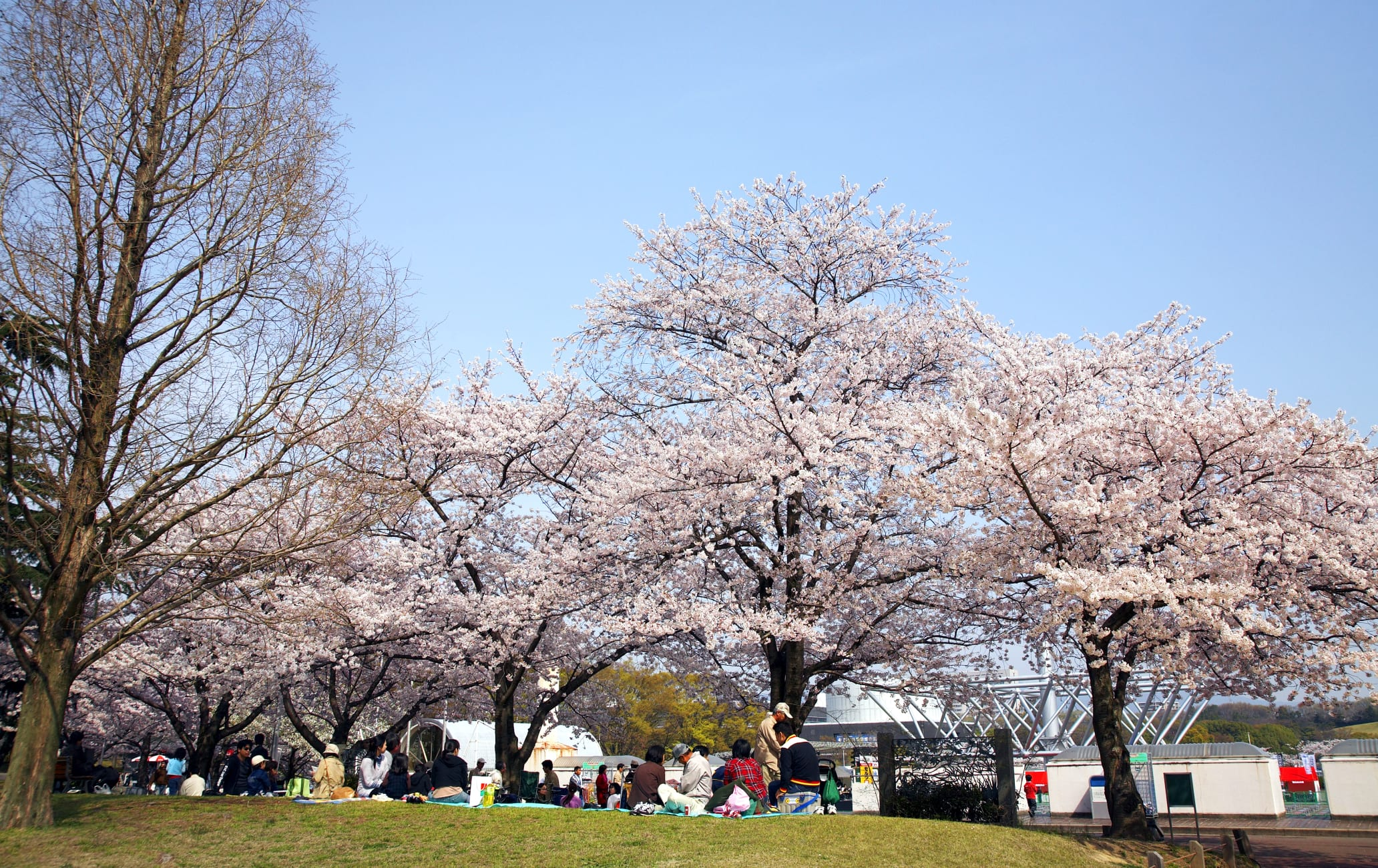 Expo Memorial Park-cherry blossom