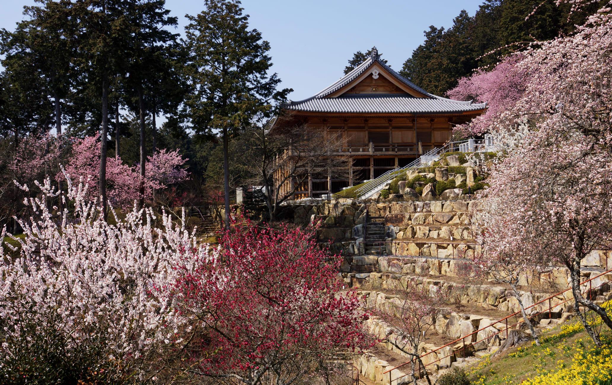 Sakura of Ishiyama-dera