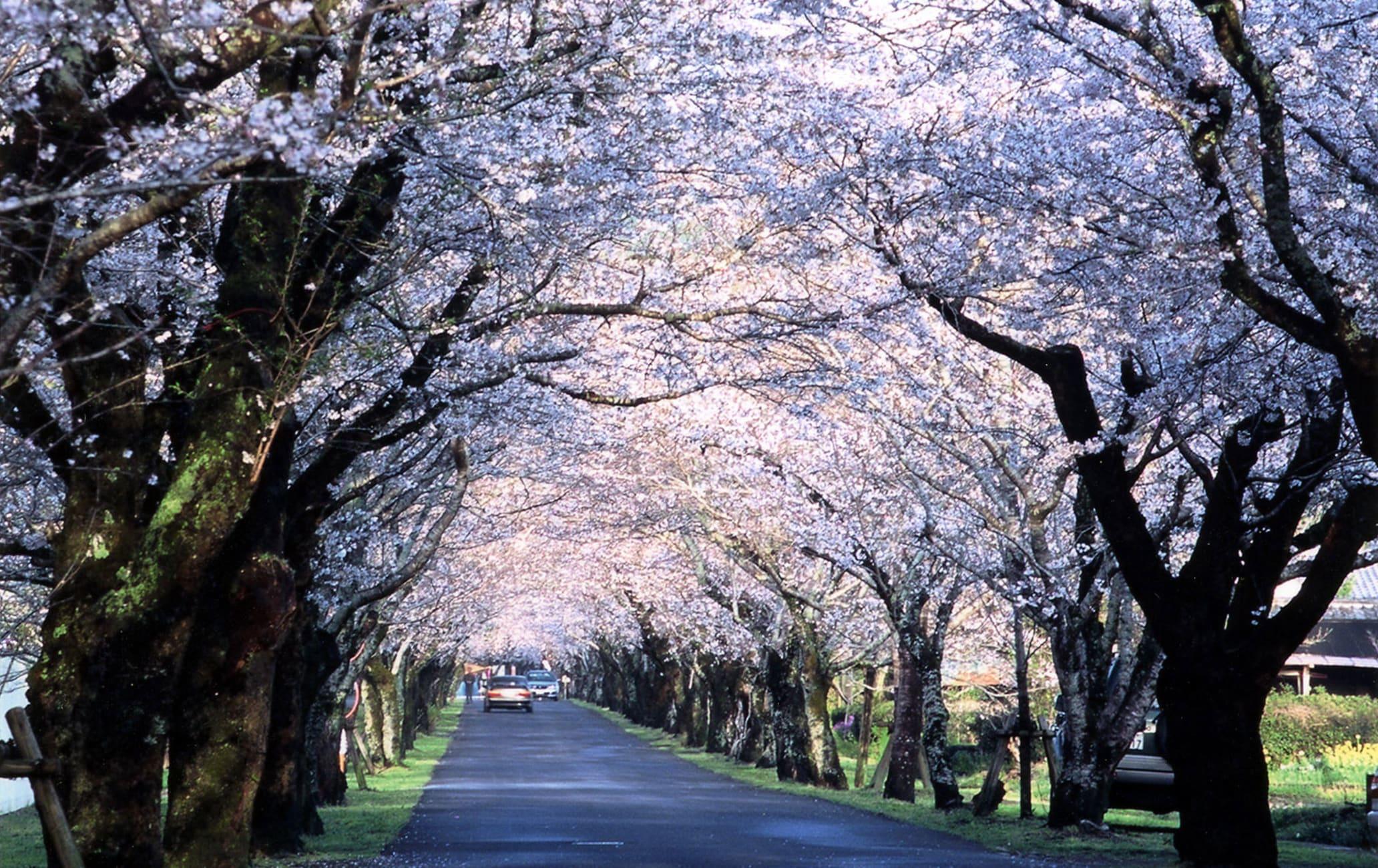 Mochio Park-cherry blossom