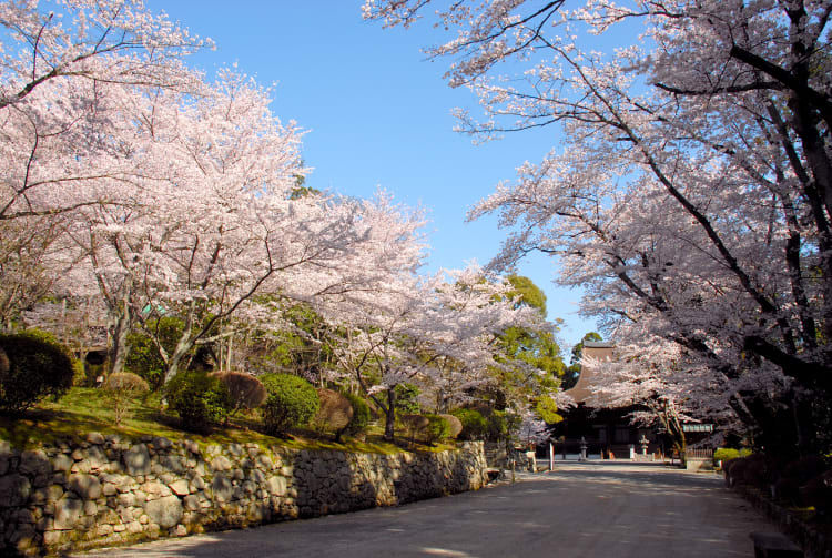 Sakura of Mii-dera