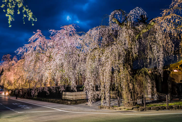 Shidare Sakura at Buke Yashiki