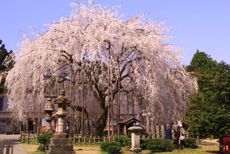 Asuwayama Park-cherry blossom