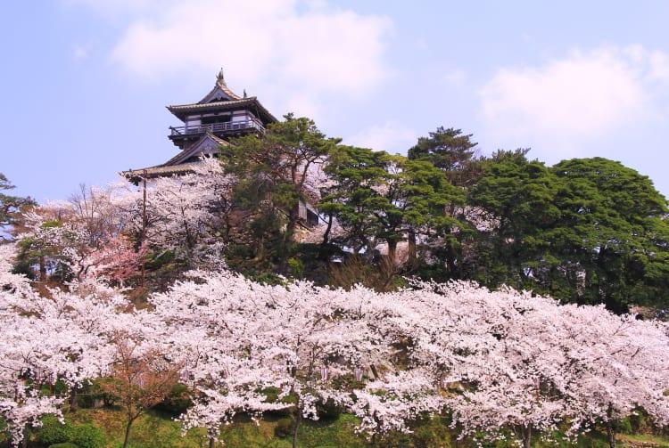 Maruoka Castle - Kasumigajo Castle Park-cherry blossom