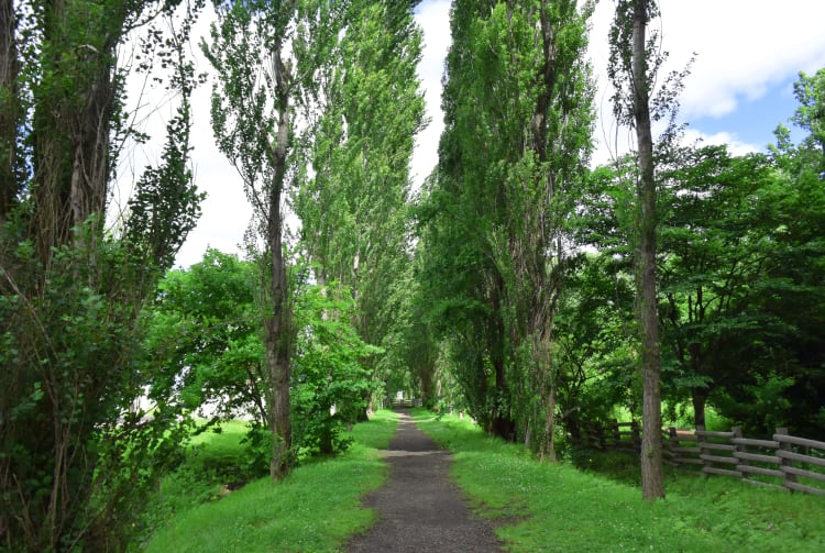 Hokkaido University poplar avenue