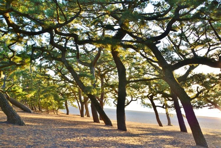 Miho-no-Matsubara Pine Grove