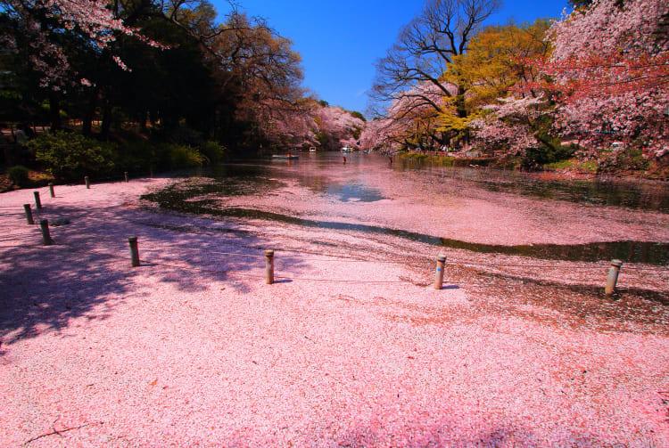 Inokashira Park-cherry blossom