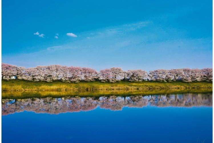 Hitome Senbon-zakura cherry blossom-SPR