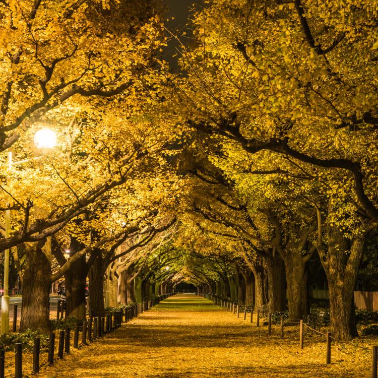 icho namiki ginkgo avenue