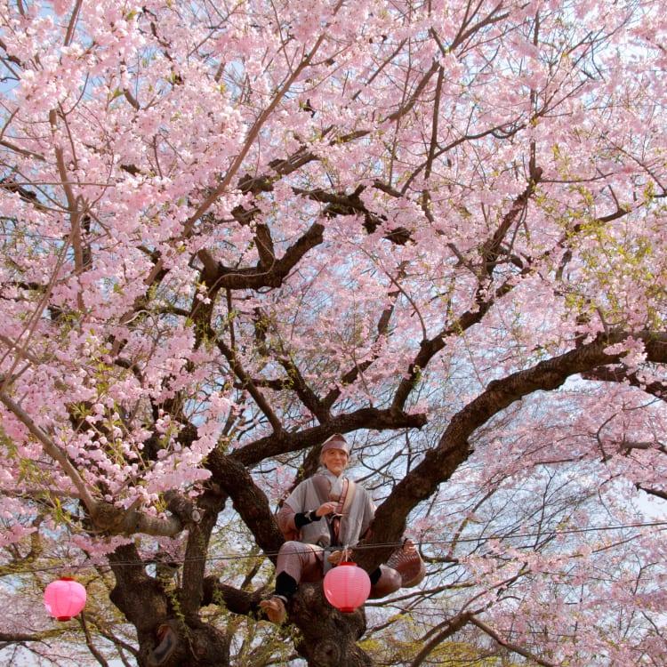 eboshiyama park-cherry blossom
