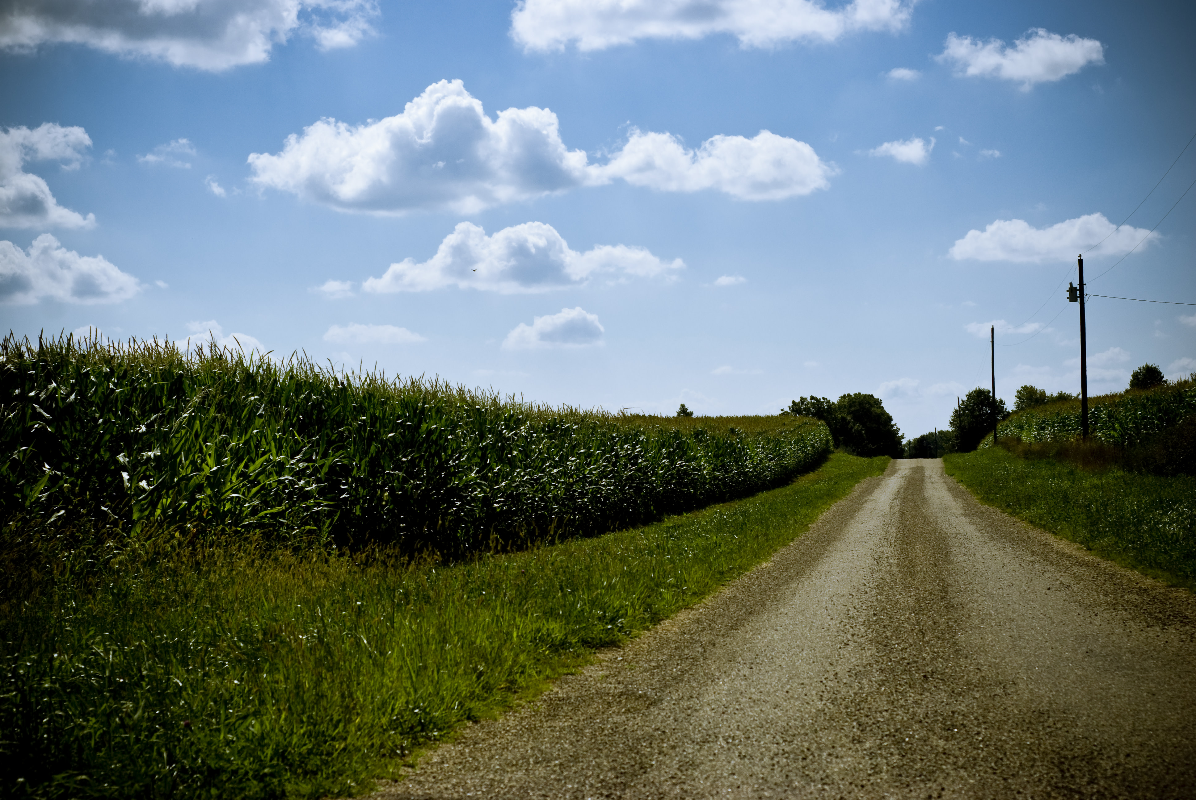 A dirt road next to cornfields on a sunny day. The sky is filled with puffy clouds.