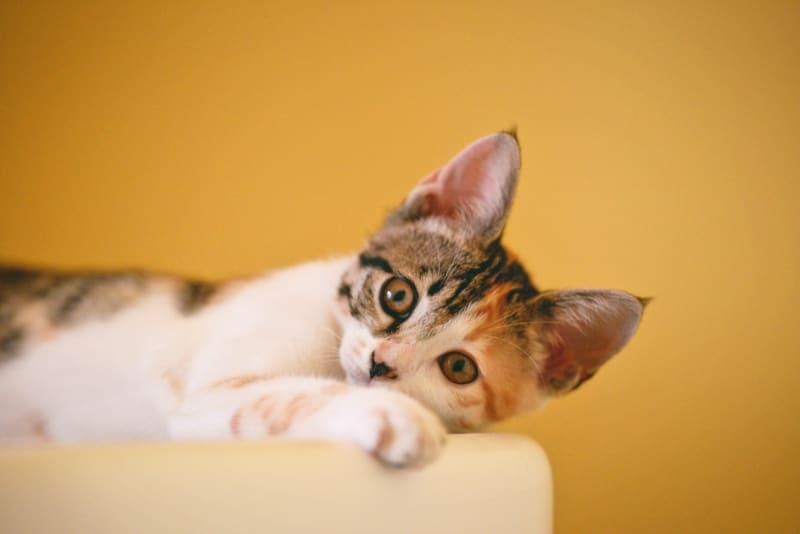 Necoichi Cat-Headed Scratcher Bed Review