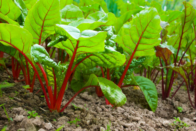 beets planted in soil