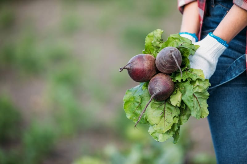gardener holding beets in field with white gloves