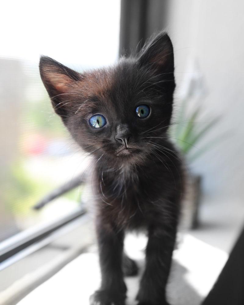 Kitten Essentials Checklist