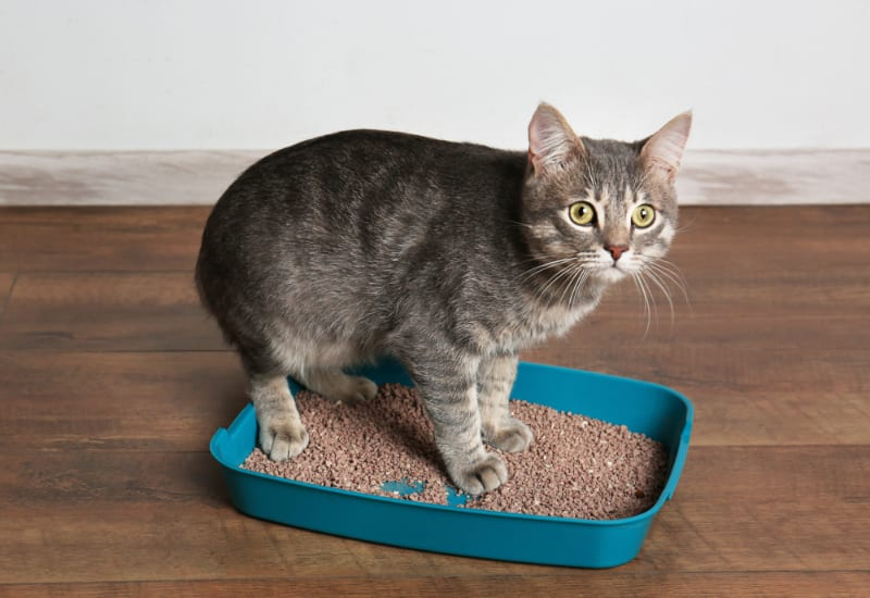 gray cat in blue litter box with not enough litter in it