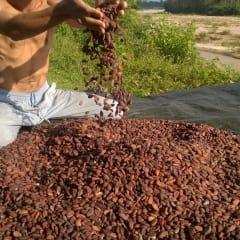 cacao farming in Thailand