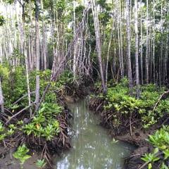 man made mangrove forest