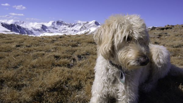 That Labradoodle May Not be Hypoallergenic After All