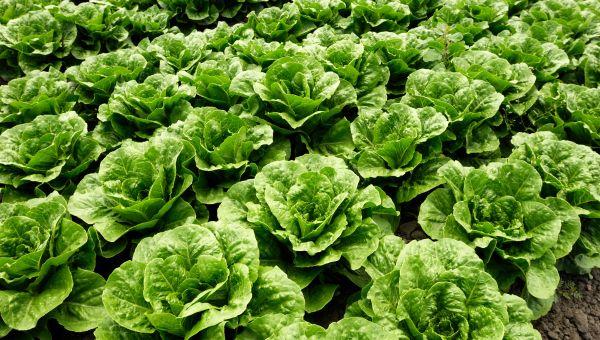 News: E. Coli Recall Expanded Beyond Romaine Lettuce From California Farm, Reports FDA