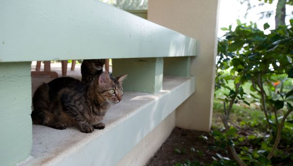 Hawaii's Feral Cats Could Harm Your Health
