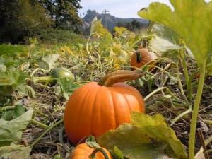 pumpkin-at-northern-lights-christmas-tree-farm