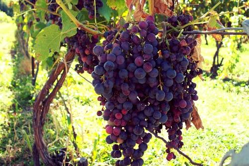 Copy of wine grapes on the vine