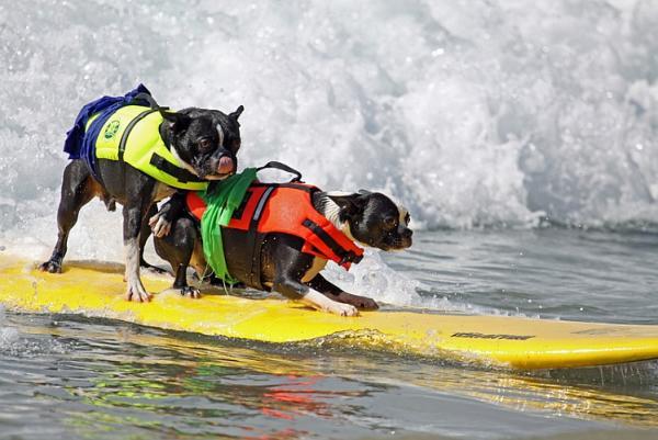 Tandem Surf dogs