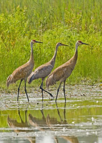 Sandhill Cranes at Slate Run Metro Park