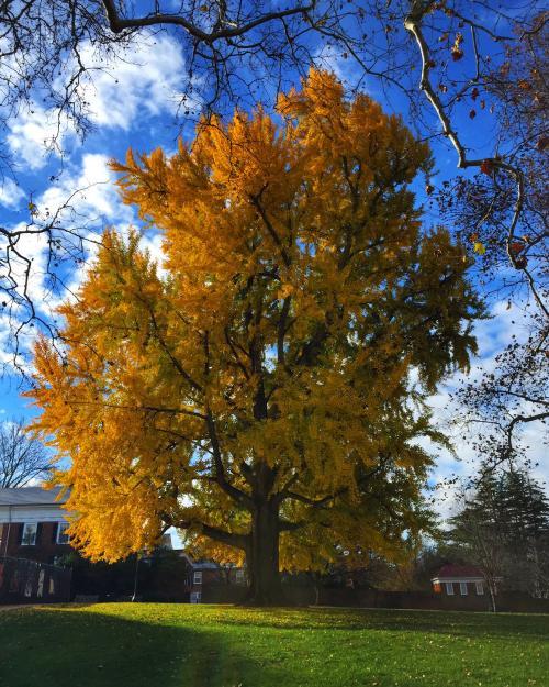 Pratt Ginkgo Tree