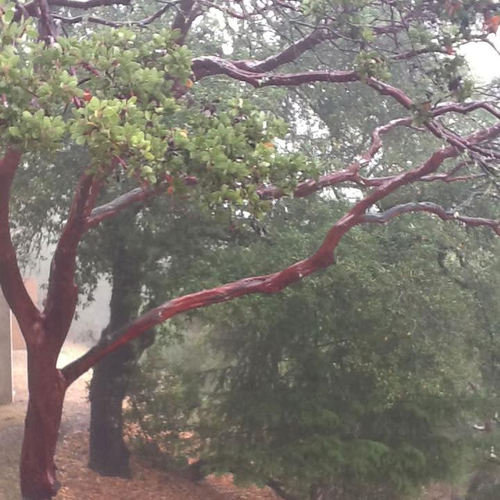 Cade Tree