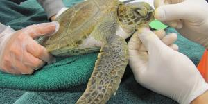 Turtle Rescue new england aquarium