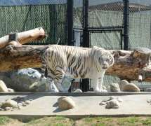 Monterey Zoo Tiger