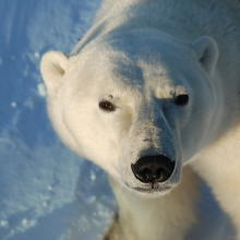 Looking into a polar bears eyes on a tour with Heartland international