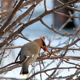 Waxwing - Birdwatching
