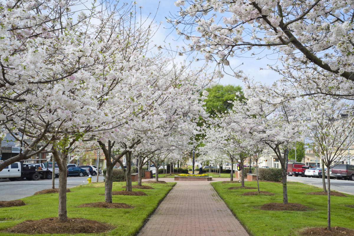 Cherry Blossoms And Macon A Unique History Part 1