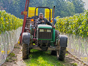 Treleaven Winery Harvest