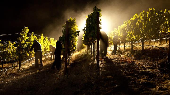 Night harvesting grapes.