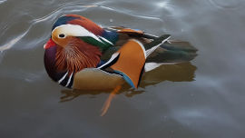 This mandarin duck has spectacular colours (Image uploaded to reddit by u/Danjv1234).