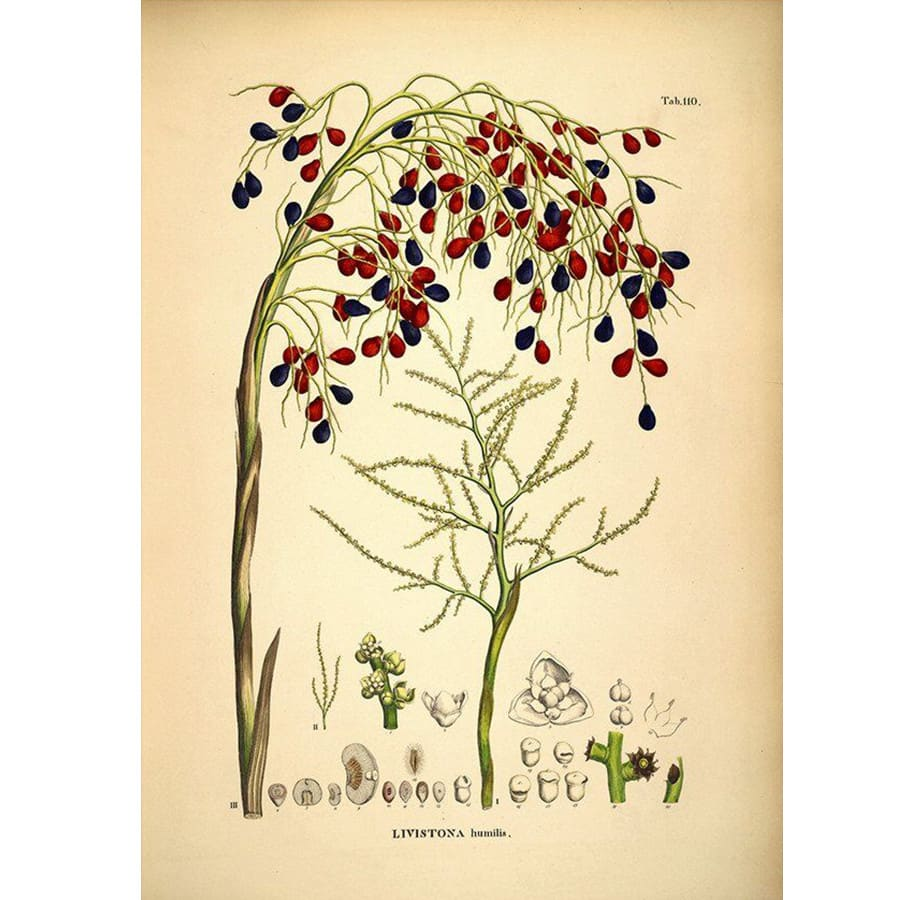 Dybdahl Medium Livistona Humilis Seeds Print