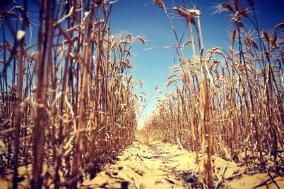 Wheat generic data