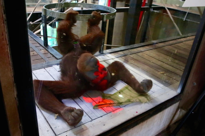 <em>Malu uses his body, not just his hands, to interact with the interface developed by researchers at the University of Melbourne. Picture: Zoos Victoria</em>