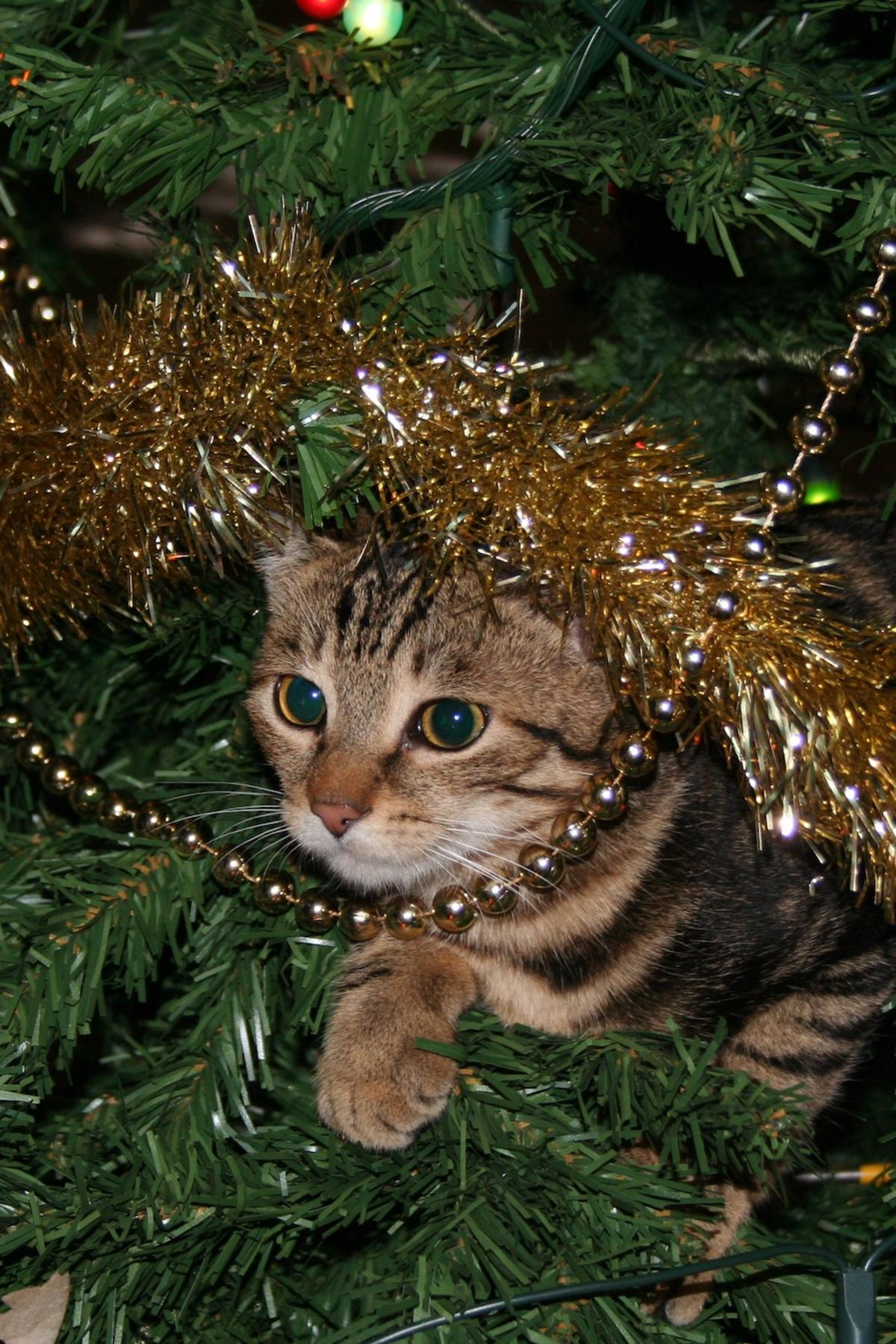 Why cats obsess over Christmas trees | Pursuit by The University of ...