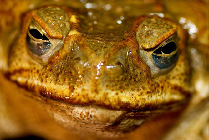 Cane toad = Introduced species fail. Picture: Pete Hill (Flickr)
