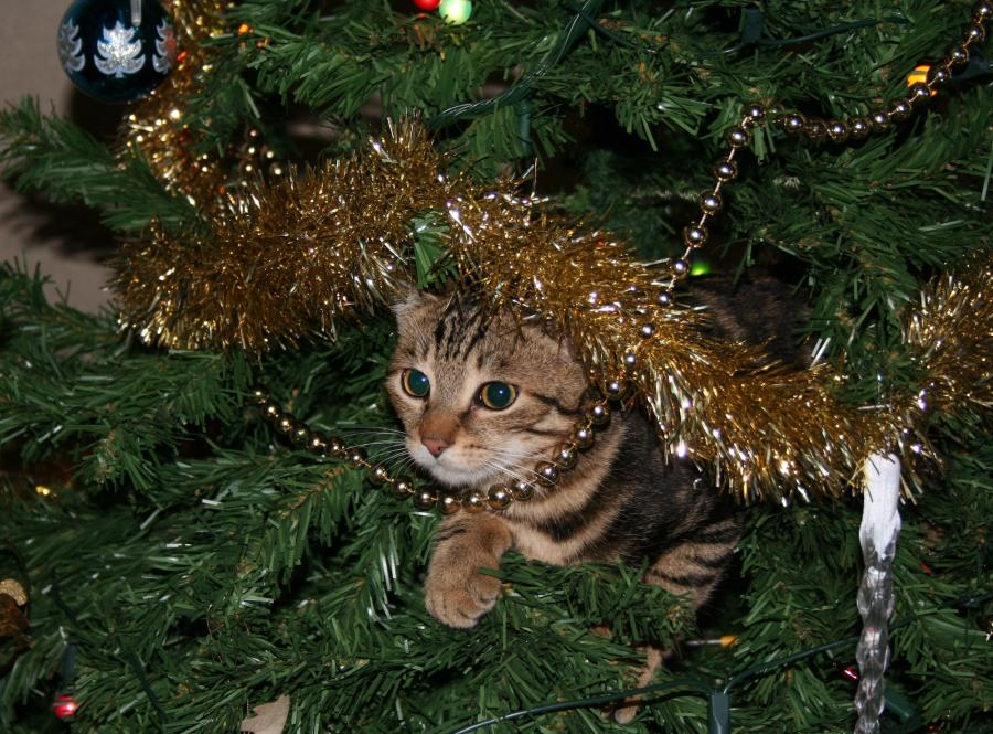 Christmas.Why Cats Obsess Over Christmas Trees Pursuit By The