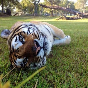 Big Cat Rescue Experience